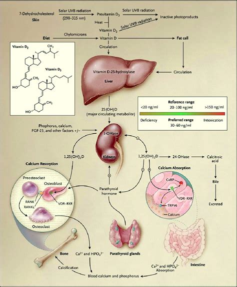 Vitamin Albumin doctors gates synthesis and metabolism of vitamin d in