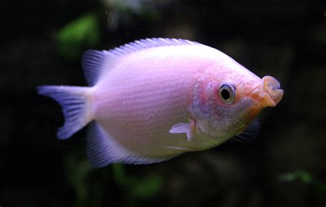 is that a fish kissing gourami wikipedia