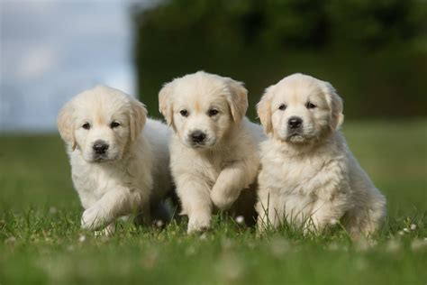 choosing a golden retriever puppy best quality golden retriever puppies for sale in singapore 2018