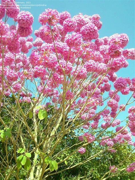 plantfiles pictures pink trumpet tree purple trumpet
