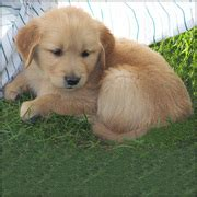 golden retriever puppies for sale in sydney dogs for sale puppies for sale australia ads australia dogs for sale puppies for