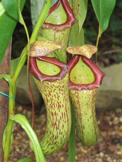 pitcher plant care growing different types of pitcher plants pitcher plant rare plants and