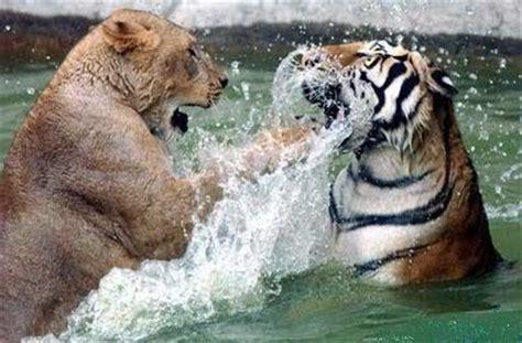 imagenes de leones y tigres peleando un mundo animal 184 la ley de la selva