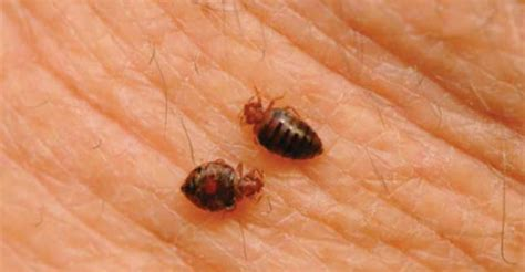 bed bugs in schools bed bug education for school maintenance with related