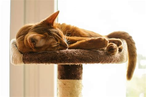 most common colors what are the most common colors of abyssinian cats