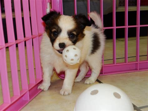 puppies atlanta papillon puppies dogs for sale in atlanta ga springs