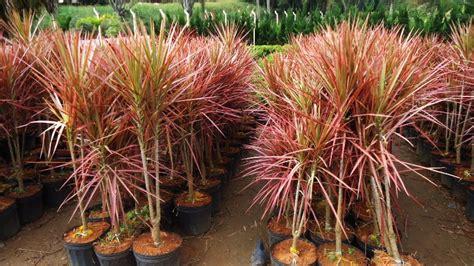 Tanaman Bromel Tricouler shop das plantas