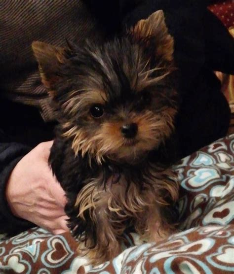 yorkies for sale in pa 25 b 228 sta yorkies for sale id 233 erna p 229 teacup yorkie och baby pomeranian