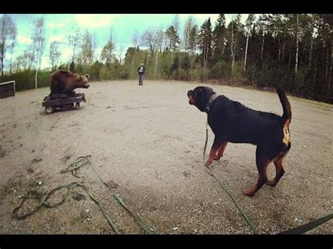 rottweiler vs german shepherd real fight rottweiler vs german shepherd fight real fight to mp4 mp3