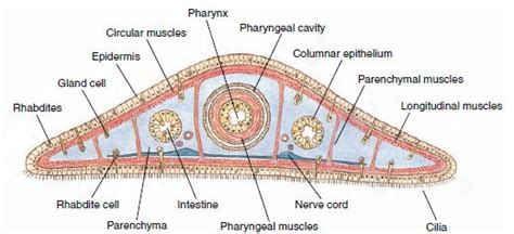 cross section of planaria planarian cross section biology atlas pinterest