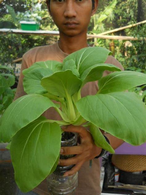 membuat tanaman hidroponik sawi koleksi artikel pertanian clipping contoh tanaman