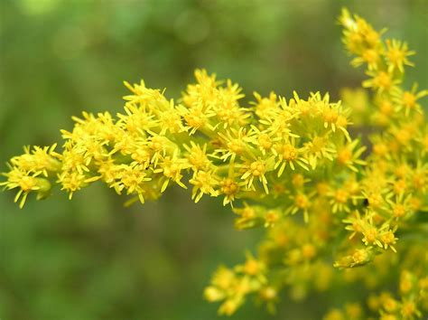 what is a state flower goldenrod state symbols usa