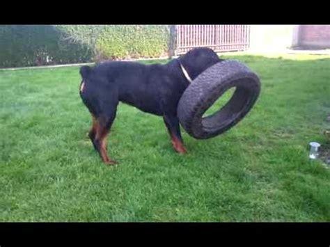 owning a rottweiler own a rottweiler part 2 doovi