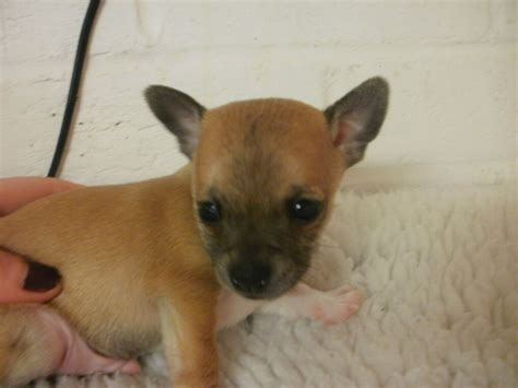 chihuahua min pin puppies chihuahua x miniature pinscher puppies alford lincolnshire pets4homes