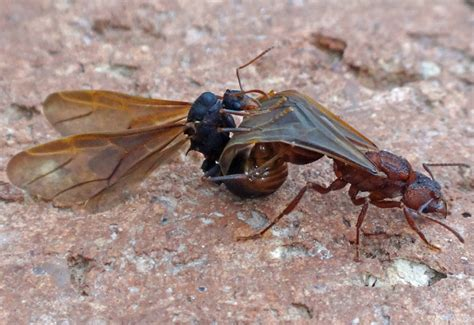 Cutter Ats mating leaf cutter ants what s that bug