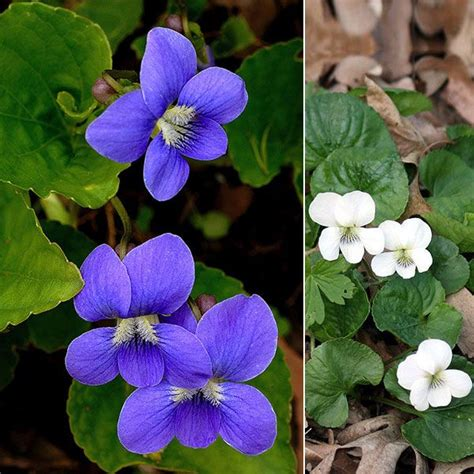 state flower of illinois illinois s state flower wild violets pinterest