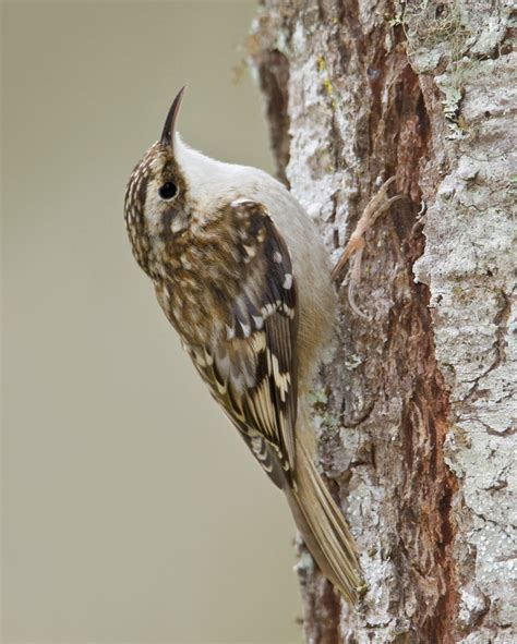wild south 187 brown creeper