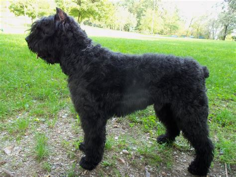 bouvier breed bouvier des flandres breed guide learn about the bouvier des flandres