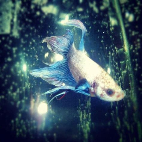 Do Betta Fish Need Light by 1000 Images About Betta On Betta Fish