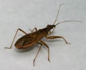 hemiptera true bugs cicadas and planthoppers the