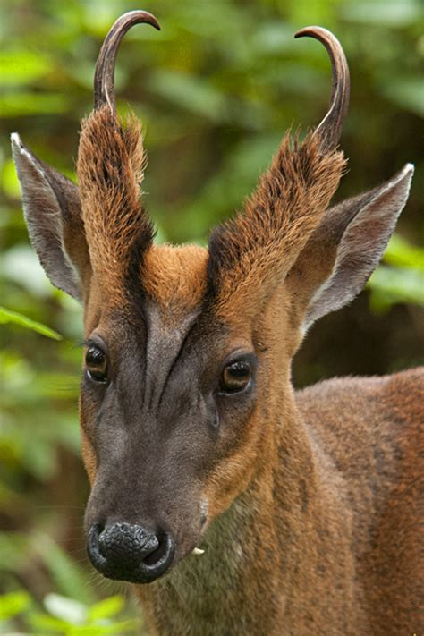 deer breeds the barking deer or muntjac walk the wilderness