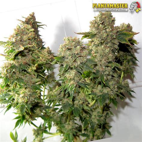 x strain seeds lowryder 2 x ak 47 by plantamaster seeds seedfinder