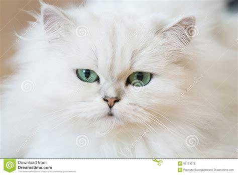 gatti persiani bianchi gatti persiani bianchi fotografia stock immagine 67134078
