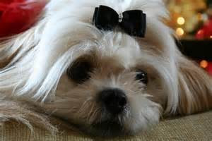 zuchon hair cuts 133 best images about shih poo s shih tzu s and teddy