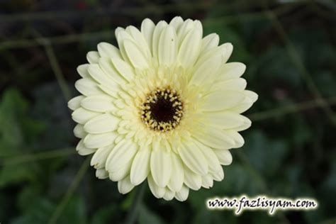 bunga kekwa cameron highlands segalanya tentang tumbuhan