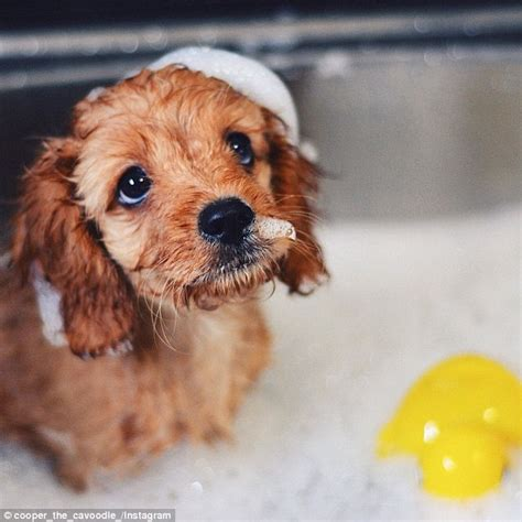puppies taking a bath meet cooper the cavoodle who has 20 000 instagram