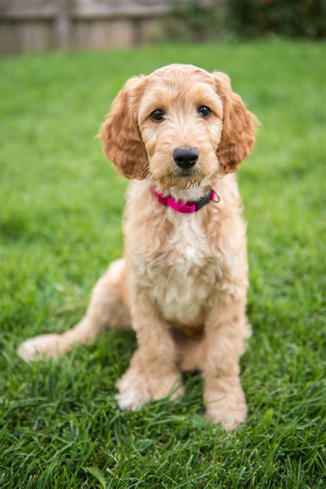 irish setter golden doodle irish doodle