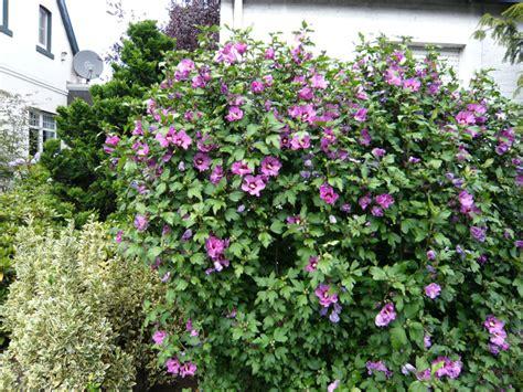 strauch garten winterhart strauch eibisch hamabo eibisch hibiscus