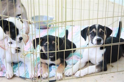 big ranch puppies 17 best images about big ranch rescue on growing up adoption and kittens