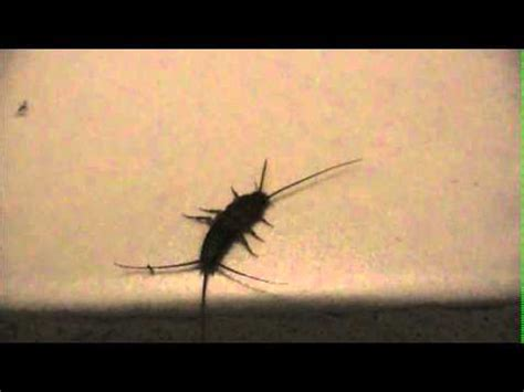 silverfish in bathroom silverfish videolike