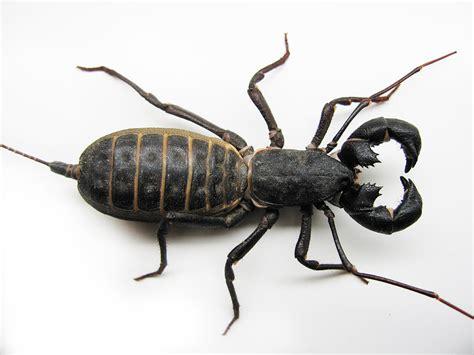 madre de alacran es venenosa 13 of the most bad ass bugs in new mexico i am new mexico