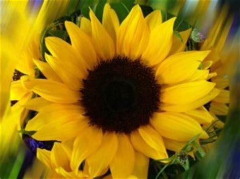 fiore della gelosia fiori e immagini di fiori e simbologia nei tatuaggi