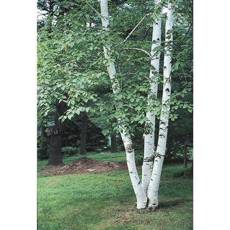 shop 5 5 gallon paper birch feature tree l7304 at lowes com