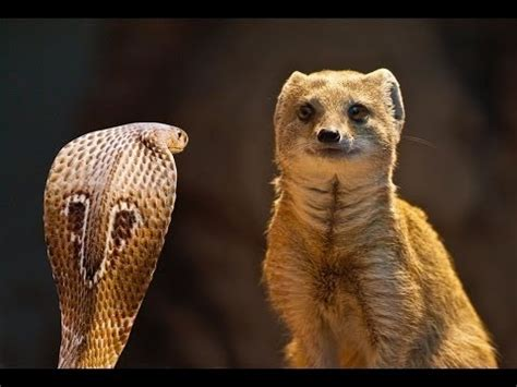 mongoose vs cobra snake mongoose vs cobra snake top 1 fighting new videos youtube