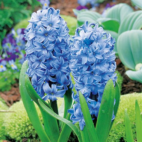 blue flower bulbs blue hyacinth flower www pixshark images galleries