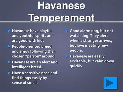 havanese temperament havanese