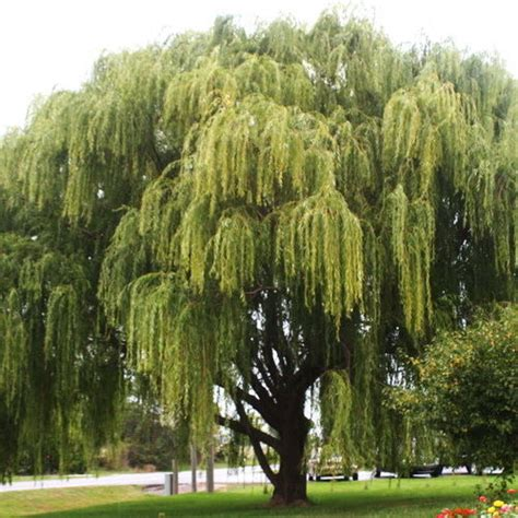 weeping trees weeping willow salix babylonica tree cuttings 29 cuttings no roots ebay