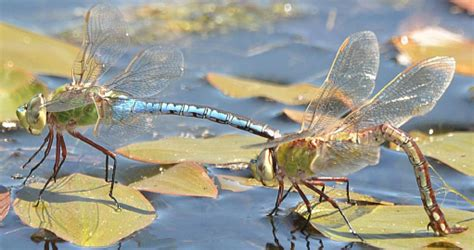 dragonfly watch find those fast and furious insects