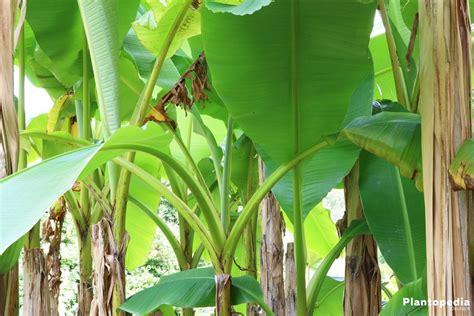 Pflege Bananenpflanze by Bananenpflanze Selber Ziehen Anzucht Und Pflege
