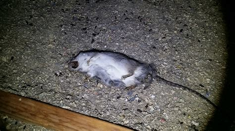 termite solutions offer complimentary rodent treatment