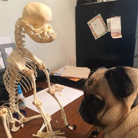 pug skeleton articulated pug skeleton horror amino