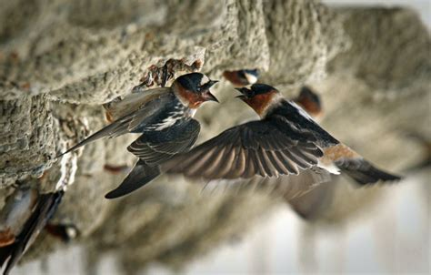feeding time for cliff swallows l a now los angeles times