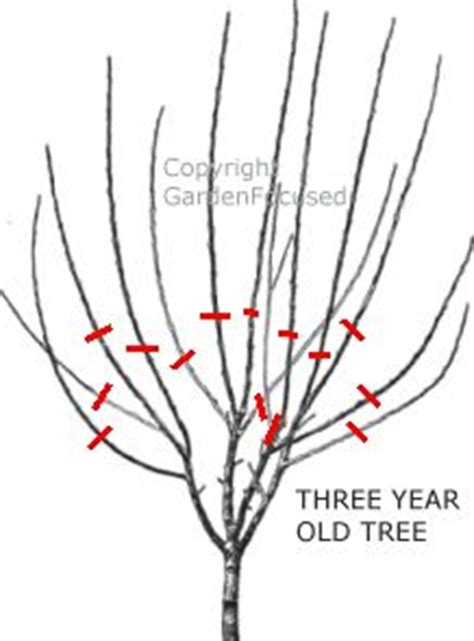 how do you prune fruit trees 1000 images about plum tree on plum tree