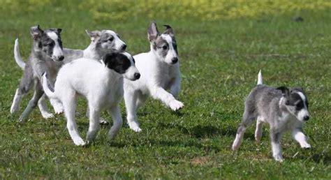 silken windhound puppies silken windhound info temperament puppies pictures
