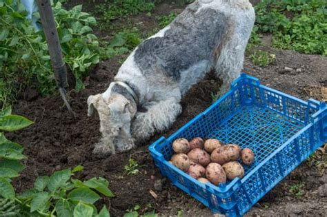 can dogs eat cooked potatoes potatoes for dogs 101 can dogs eat potatoes
