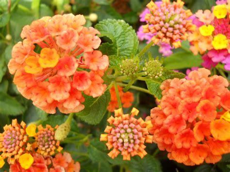 fiori di montagna foto badit fiori di montagna